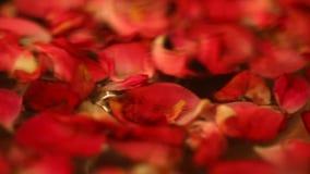玫瑰花瓣关闭射击 股票视频