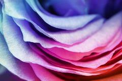 玫瑰花瓣用不同的颜色 库存图片