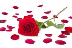 玫瑰花瓣的汇集有一朵红色玫瑰的在上面 免版税库存图片