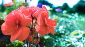 玫瑰花瓣-红色 免版税库存照片