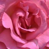 玫瑰花瓣 免版税图库摄影