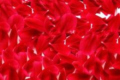玫瑰花瓣 库存图片