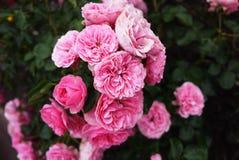 玫瑰花蕾特写镜头明亮的好日子 多彩多姿的玫瑰花瓣 r 免版税库存照片