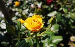 玫瑰花蕾特写镜头明亮的好日子 多彩多姿的玫瑰花瓣 r 库存照片
