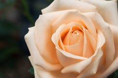 玫瑰花蕾特写镜头 图库摄影