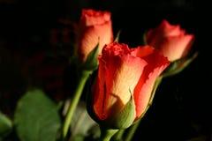 玫瑰花蕾 免版税库存照片