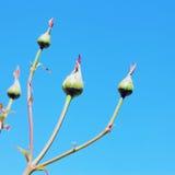 玫瑰花蕾 免版税库存图片