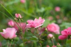 玫瑰花蕾 库存照片