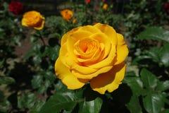 玫瑰蜂蜜黄色花  免版税库存照片