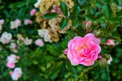 玫瑰被弄脏的框架  图库摄影