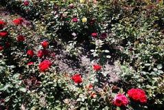玫瑰销售园艺中心  多彩多姿的玫瑰花瓣 r 免版税图库摄影