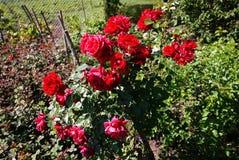 玫瑰销售园艺中心  多彩多姿的玫瑰花瓣 r 库存图片