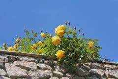 玫瑰黄色 库存图片