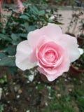 玫瑰,礼物特别选择为Valentin天 免版税库存图片