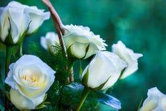 玫瑰,背景图象,玫瑰在庭院里 免版税库存图片