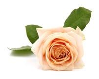 玫瑰/与叶子的花-三文鱼淡色-背景隔绝了白色 库存照片