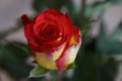 玫瑰-特写镜头的所有秀丽 库存照片