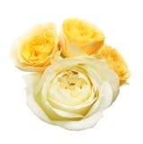 玫瑰头状花序  免版税库存照片