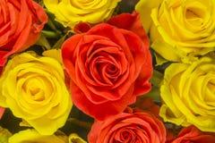 玫瑰-黄色背景 库存图片