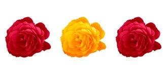 玫瑰 库存图片