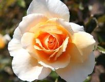 玫瑰 免版税图库摄影