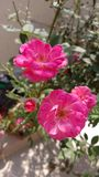 玫瑰 图库摄影