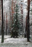 环境美化与一棵积雪的树在冬天杉木森林里 库存图片