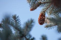 环境美化与冷杉球果和蓝天 库存图片
