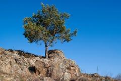 环境美化与在峭壁的一棵偏僻的杉树 图库摄影