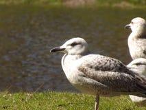 环境美化与在草的美丽的三只海鸥 免版税库存图片