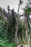 环境美化与在雨林, Boabeng Fiema猴子圣所,泰奇曼,加纳的残破的树 库存图片