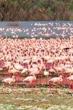 环境美化与火鸟群在巴林戈湖的 肯尼亚,非洲 库存照片