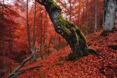 环境美化与秋天森林,站立在山腰的一根老孤立腐烂的山毛榉盖用很多下落的红色叶子 免版税库存图片