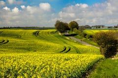 环境美化与黄色油菜籽花在多云天空下 免版税库存照片