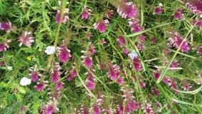 环境美化与Melampyrum arvense & x28红色花; 调遣母牛wheat& x29; 免版税库存图片