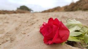 环境花玫瑰黄色 库存图片