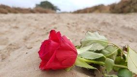 环境花玫瑰黄色 免版税库存图片