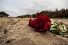 环境花玫瑰黄色 库存照片