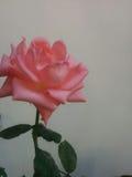 环境花玫瑰黄色 免版税库存照片