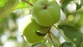 环境苹果肥料重点友好增长的selectuve 苹果绿色结构树 美丽的苹果在太阳的光芒的一个分支成熟 股票录像