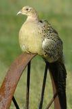 环形收缩的野鸡(雉属colehicus) 免版税图库摄影