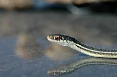 环状蛇类proximus 免版税图库摄影