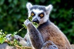 环纹尾的狐猴吃 库存图片