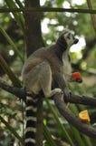 环纹尾的狐猴在新加坡动物园里 免版税库存图片