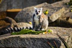 环纹尾的狐猴坐吃一些食物的岩石 免版税库存照片