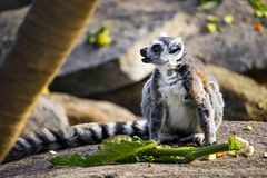 环纹尾的狐猴坐吃一些食物的岩石 图库摄影