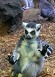 环纹尾的狐猴或猫狐猴 免版税库存照片