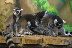 环纹尾的狐猴杂乱的一团  免版税图库摄影