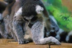 环纹尾的狐猴杂乱的一团  免版税库存图片