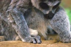环纹尾的狐猴杂乱的一团  免版税库存照片